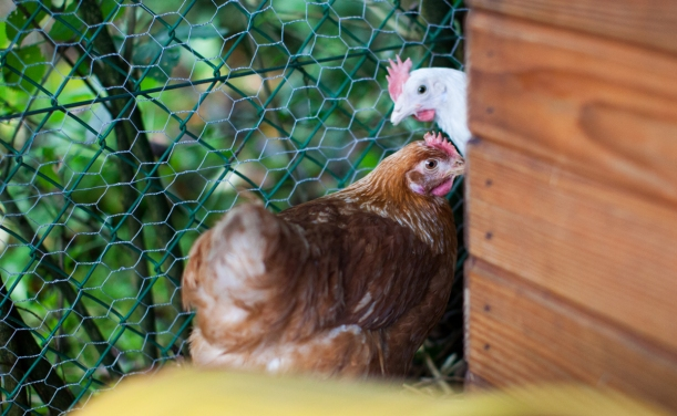 chickens-19