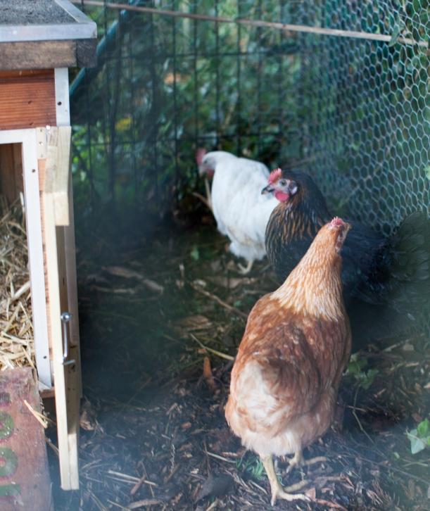chickens-20