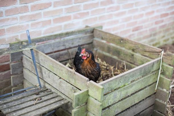 chickens-4